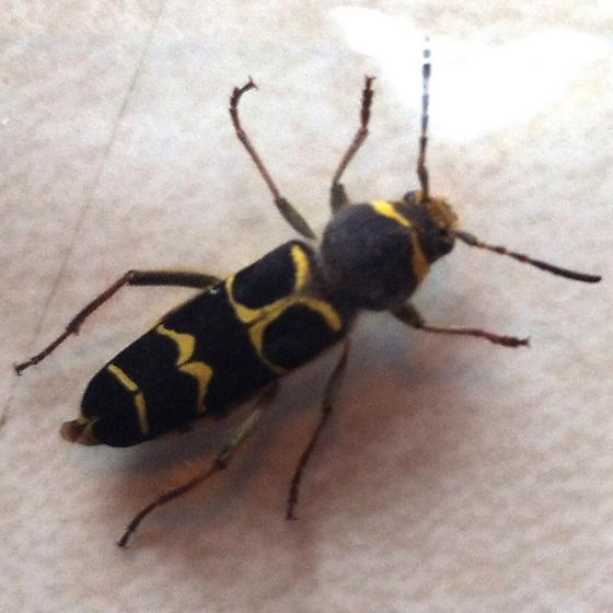 Crawling house insect - Neoclytus caprea