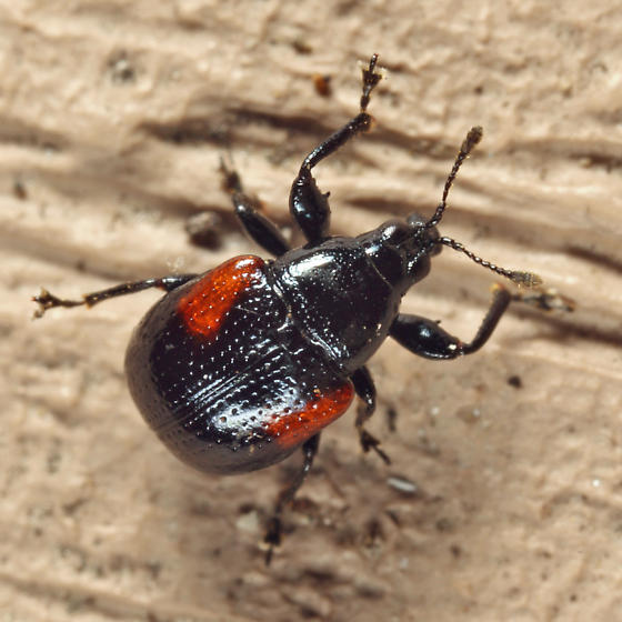 Oak Leafrolling Weevil - Synolabus bipustulatus