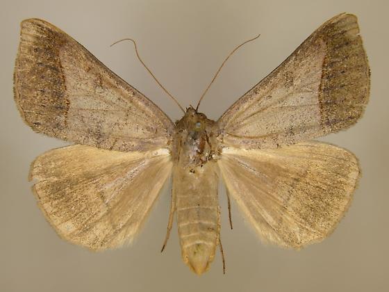 Mocis texana - female