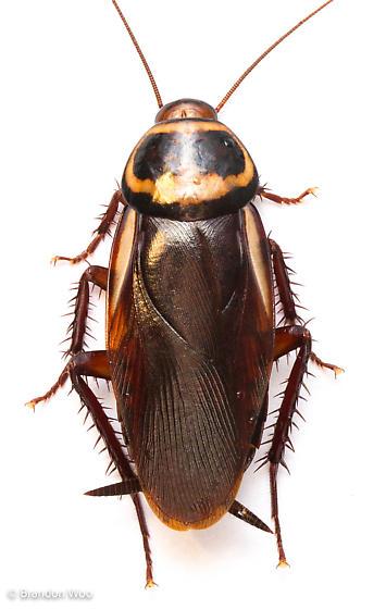 Periplaneta australasiae - female