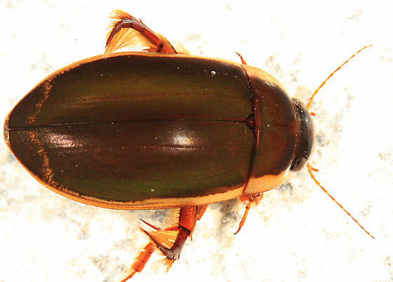 Understriped Diving Beetle - Dytiscus fasciventris - male