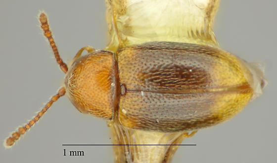 Coleoptera - Atomaria