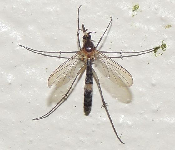 Cranefly sp? - Asindulum