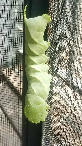 Huge green caterpillar - Manduca rustica