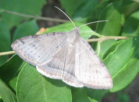 what species? - Caenurgina erechtea