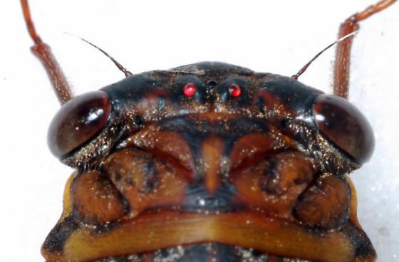 Unknown Tibicen - Diceroprocta olympusa