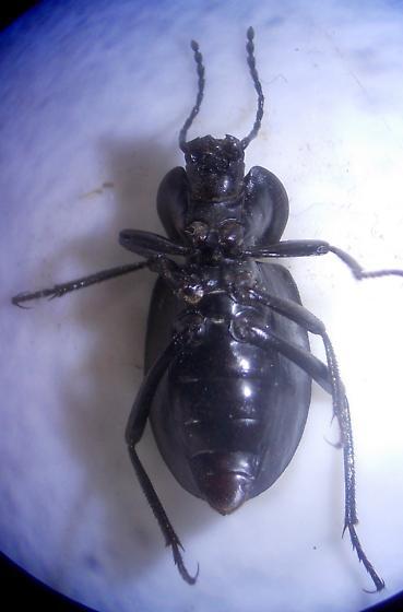 Darkling Beetle - Embaphion
