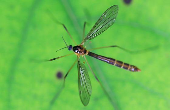 small dark crane fly with distinct pale abdominal band - Liogma nodicornis
