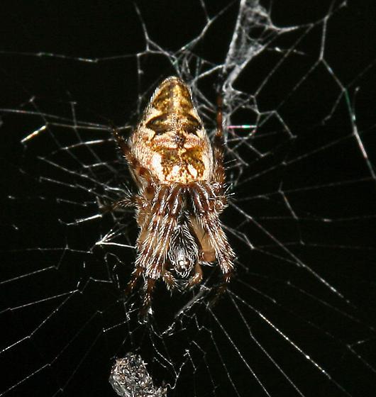 trashline orbweaver - Cyclosa conica - female