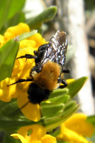 Bee - Melecta pacifica