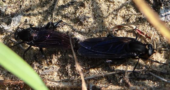 Large Mating Insects - Mydas clavatus - male - female