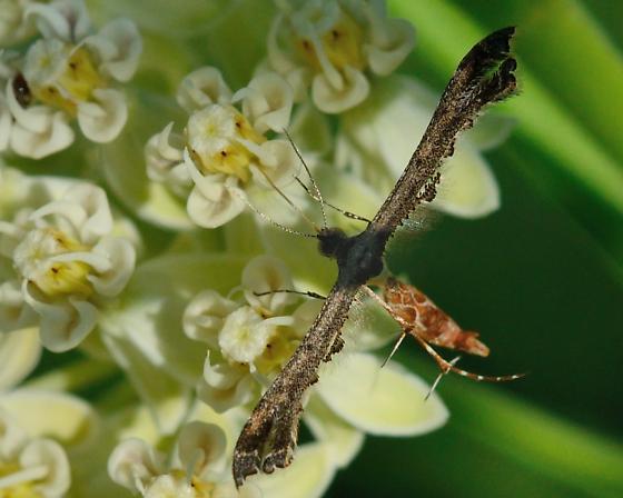 Unknown Moth - Michaelophorus indentatus