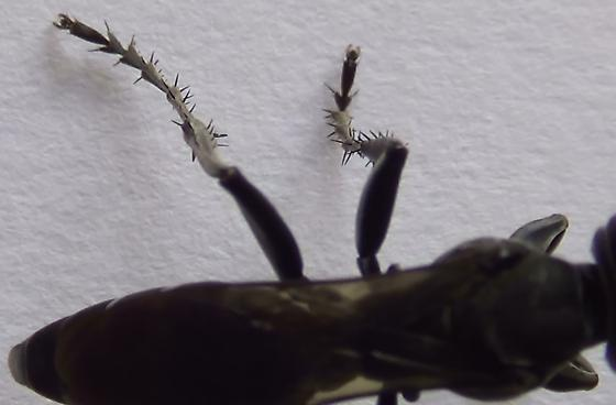 Square-headed Wasp Body Scan (dorsal legs) - Liris - female