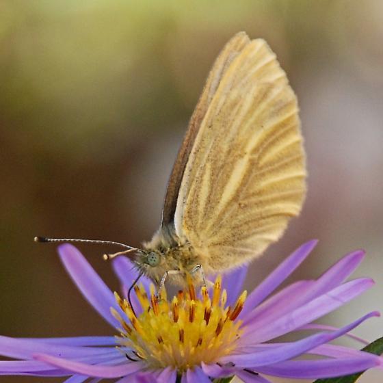 Small yellow butterfly? - Pieris marginalis