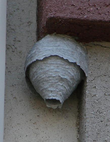 Nest WV - Dolichovespula