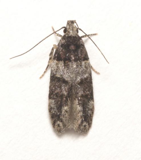 Gelechiidae, dorsal - Pubitelphusa latifasciella