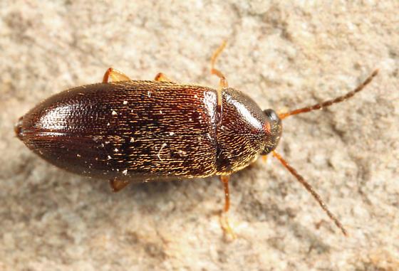 Darkling Beetle - Hymenorus