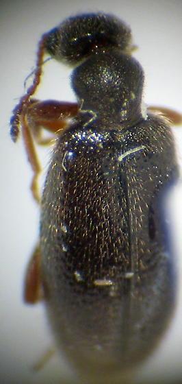 dark Anthicidae - Sapintus fulvipes