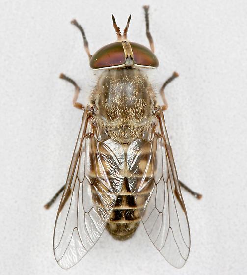 BG862 C8210 - Hamatabanus exilipalpis - female
