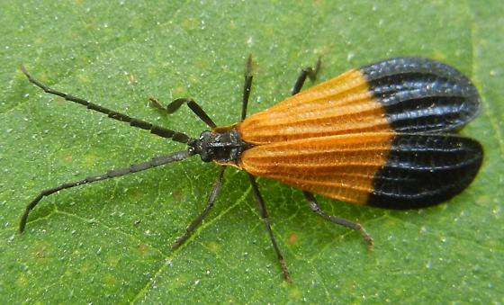 net winged beetle - Calopteron terminale