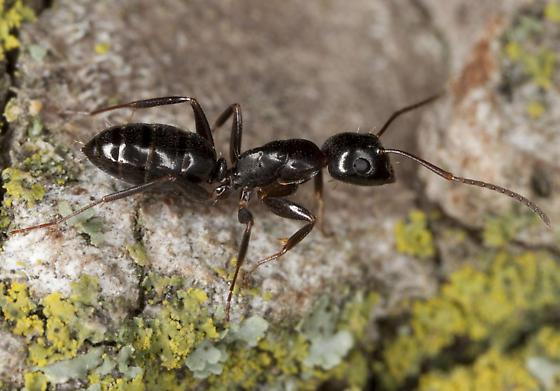 Ant IMG_9403 - Camponotus nearcticus