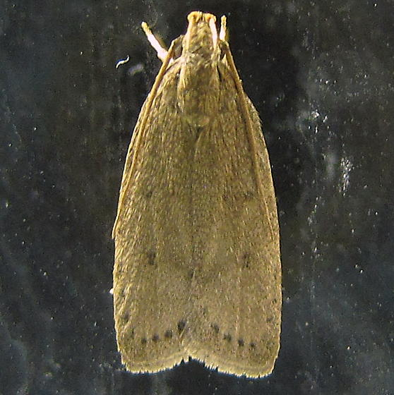 Moth with row of spots, plus four fainter ones - Autosticha kyotensis