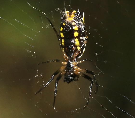 Spider - Micrathena funebris
