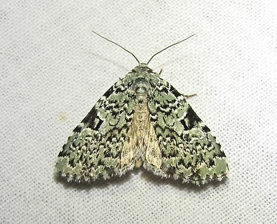 moth 3924 - Leuconycta diphteroides