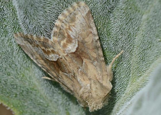 Moth - Cobalos angelicus