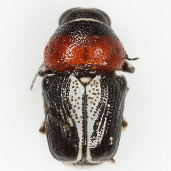Griburius montezuma (Suffrian) - Griburius montezuma
