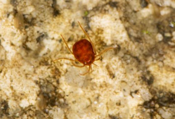 Red water mite - Eylais