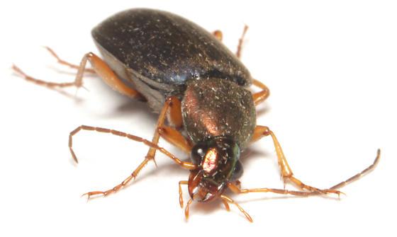 Carabidae, frontal - Chlaenius tricolor