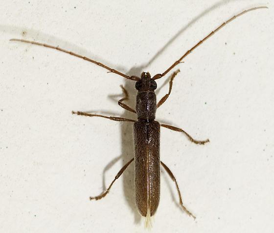 More cerambycids - Aneflomorpha