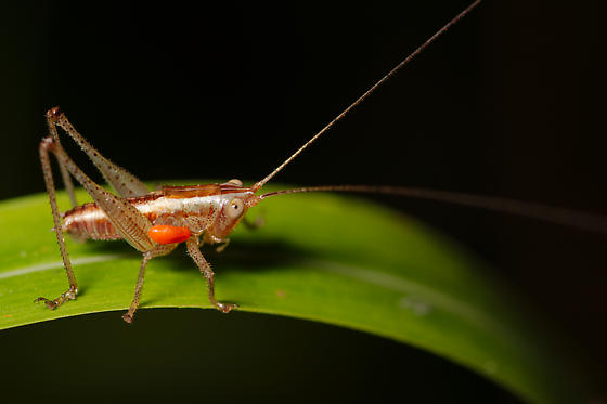 Meadow Katydid with parasitic mite