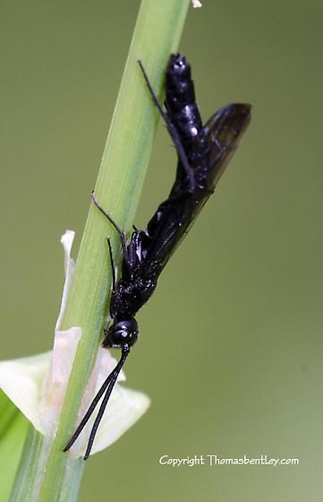 Wasp - Hartigia trimaculata - female