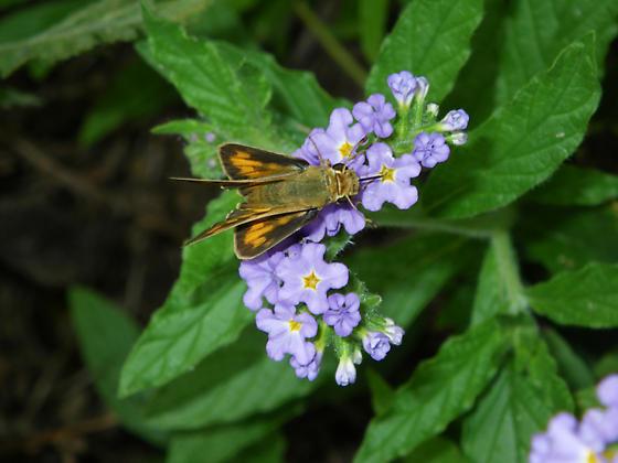 skipper 2 - Hylephila phyleus