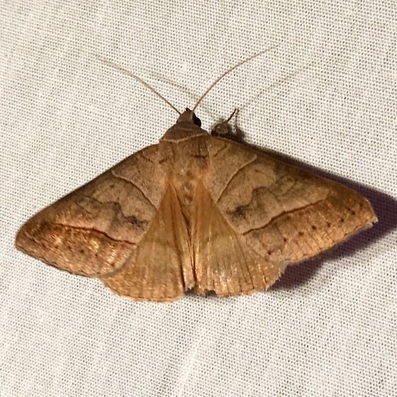 Moth 8 on 8/20/17 - Mocis disseverans