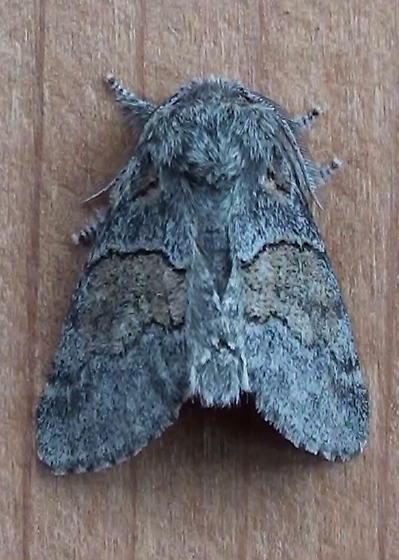 Notodontidae: Gluphisia septentrionis? - Gluphisia septentrionis