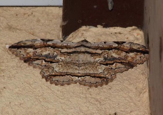 Thysania zenobia - Owl Moth - Hodges# 8647 - Thysania zenobia