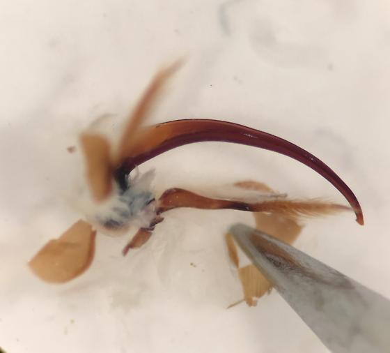 Platambus flavovittatus - male