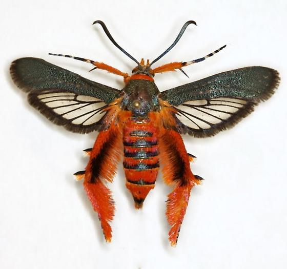 Melittia grandis (Strecker) - Melittia grandis - female
