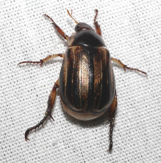 Scarab Beetle - Anomala nimbosa