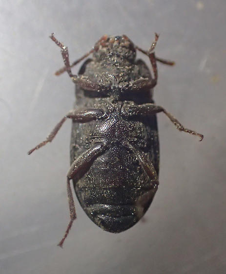 Tenebrionidae - Blapstinus brevicollis