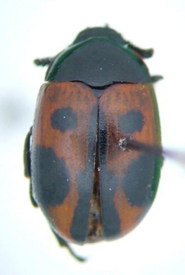 Diaperis maculata
