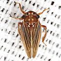 Unknown Leafhopper - Agallia lingula
