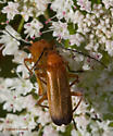 Flower Grazer, British Columbia - Rhagonycha fulva - female