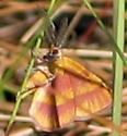 Moth - Erastria coloraria