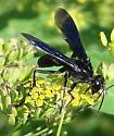 large black wasp - Sphex pensylvanicus