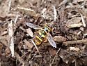 Large yellow bee-like fly - Milesia virginiensis