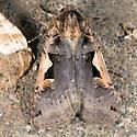 Black-lettered Dart Moth - Xestia dolosa